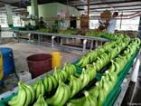 Banana Cavendish Ecuador - фото 1