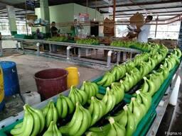 Banana Cavendish Ecuador
