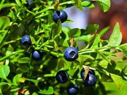 Blueberries, lingonberries