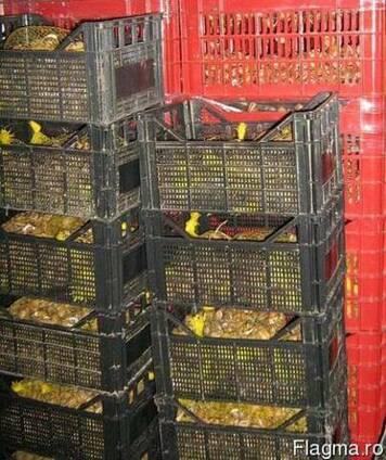 Helix/escargot/grape snail. struguri de melci