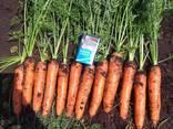 Vindem en-gros morcovi / Морковь столовая оптом. - фото 1