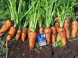 Vindem en-gros morcovi / Морковь столовая оптом. - фото 3